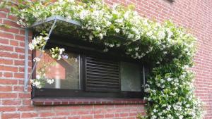 rooster met jasmijn zorgt voor schaduw op raam